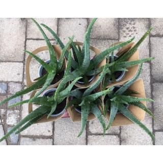 Aloe vera  im 12cm Topf